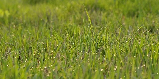 rosa na trávě